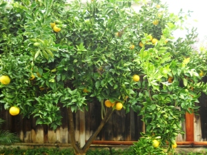 Orange Tree.small