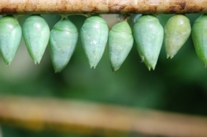 cocoon_butterfly