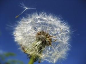 dandelion_partial_summer