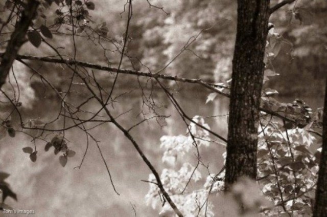 ©Tom Caton  Whispering Pines