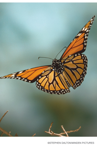 monarch.in.flight