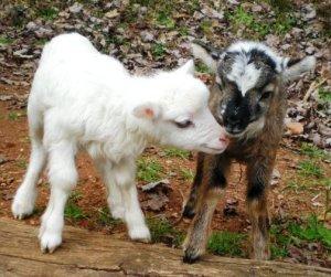 sheepandgoatbabies