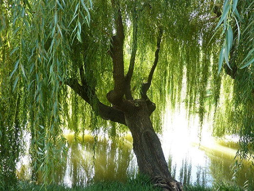willow-tree-with-reflection