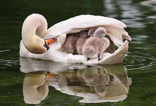 swan-cignets